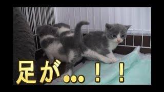 【猫好き】足が゙…!!(マンチカン)《funny cats》