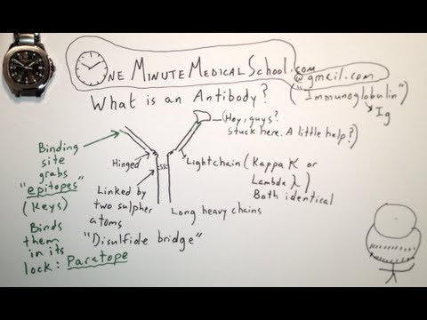 Antibody Structure and Basic Function - One Minute Medical School