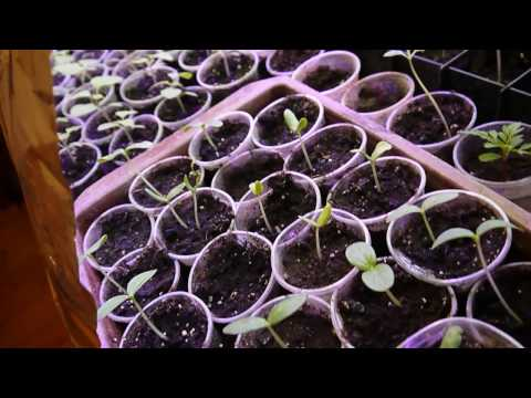 Увеличить площадь подоконников для выращивания рассады – мой способ