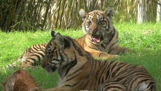 Baby Tigers At Disney