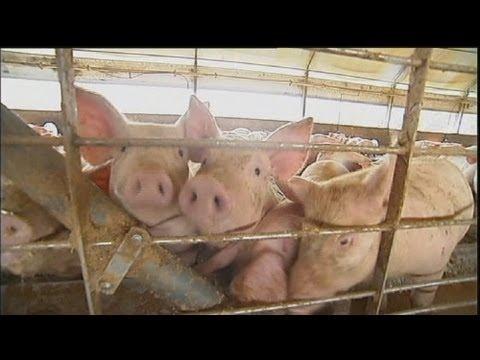 image Une ferme de cochons neutre en carbone