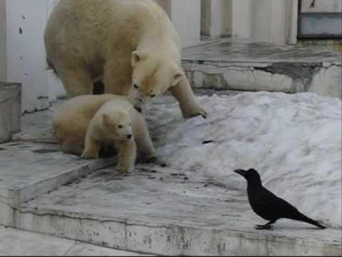 ダメ!(札幌円山動物園、ホッキョクグマの赤ちゃん)