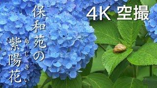 保和苑の紫陽花(あじさい)[4K]茨城県水戸市|絶景茨城 -VISIT IBARAKI, JAPAN-