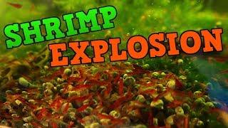 Neocaridina Shrimp Tanks - Cherry Shrimp and Blue Dream