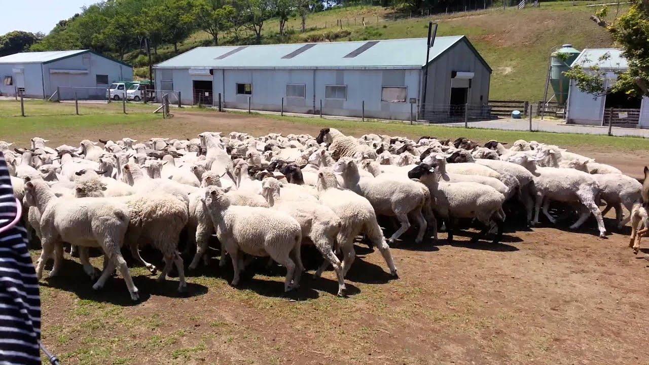 Sheep Pets Japan Japan Sheep Grand Parade