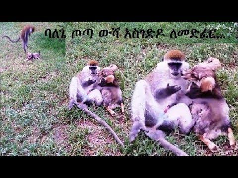 ባለጌ ጦጣ ውሻ አስገድዶ ለመድፈር...  A Monkey Tries To Rape A Puppy