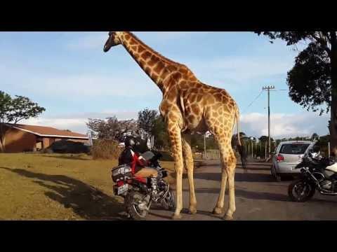 Giraffe vid