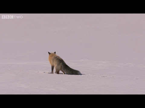 Fox Snow Dive - Yellowstone - BBC Two