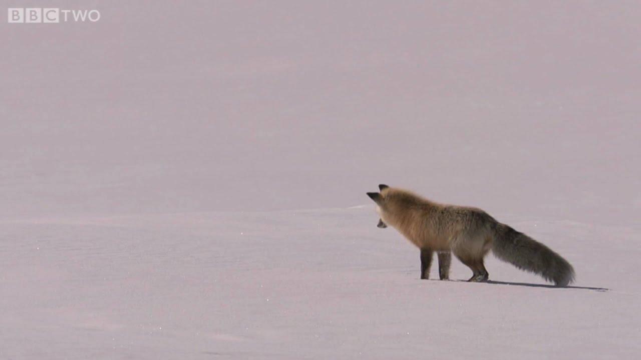 Fox Snow Dive Yellowstone Bbc Two Youtube