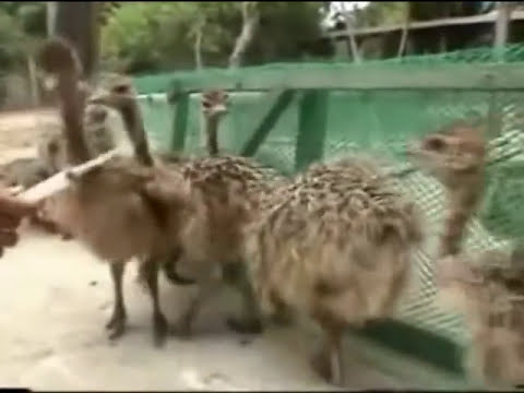 avestruz.mpg