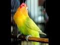LOVE BIRD JUARA NGEKEK PANJANG MANTAB mp3