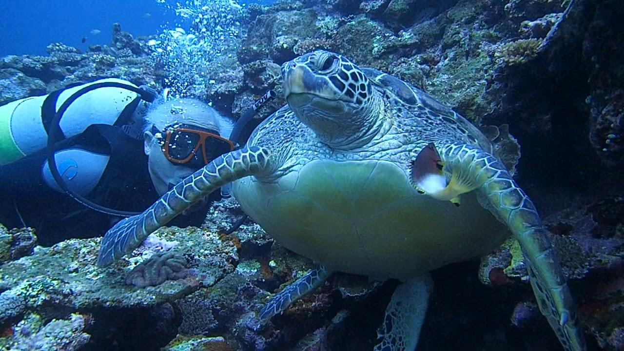 アオウミガメの画像 p1_32
