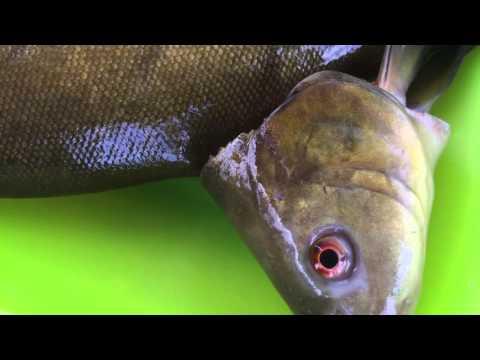 видео ловля линя на червя