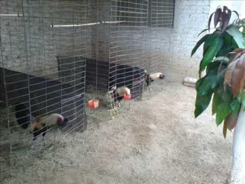 gallos nuevo