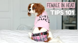 FEMALE DOG IN HEAT | TIPS 101 | What to do | Herky the Cavalier