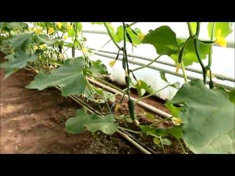 Выращивание огурца во втором обороте 88
