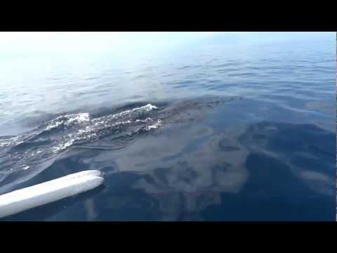 Dolphin Watching @ Bais, Dumaguete