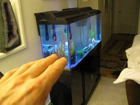 The easy way to breed Zebra Fish (Danios) -  live footage
