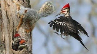 Mother Woodpecker Save Her Baby From Squirrel