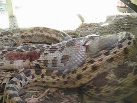 Gopher Snake Eating Gopher Snake Eating Rabbit