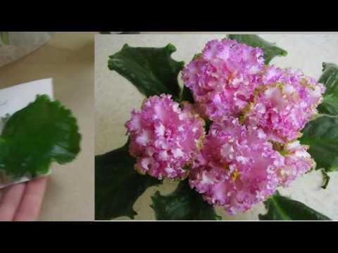 Покупка новых сортов фиалок листиками /Purchase of new varieties of violets leaves