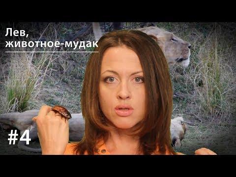 Лев, животное-мудак: секс 40 раз в день, многоженство, драки, тунеядство // Все как у зверей