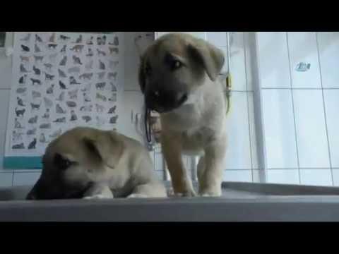 Hasta Köpekleri Veterinere El Arabasıyla Taşıdı