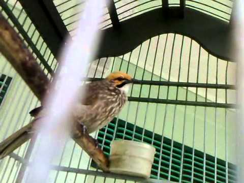 Suara Burung Cecarowo Indah.mp4 video