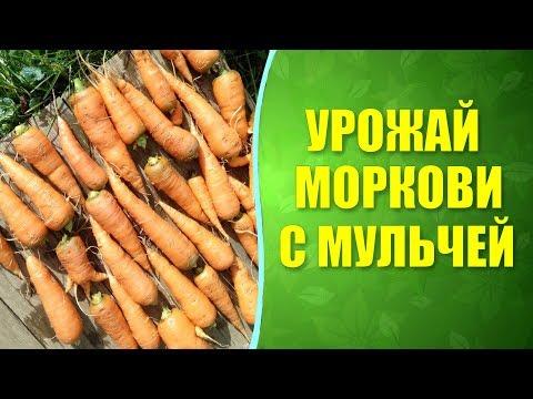 🥕 Урожай моркови после мульчирования. Мульчирование грядок моркови, результат.