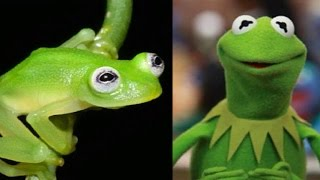 Newly discovered frog species looks a lot like Kermit