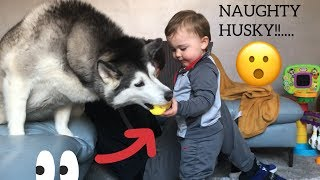 HUSKY STEALS BABY TOY & GETS SUPER ANGRY!!