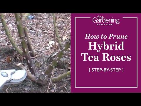 How to Prune Hybrid Tea Roses