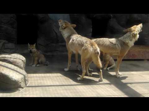 ちびっ子も参加 (天王寺動物園のチュウゴクオオカミ)
