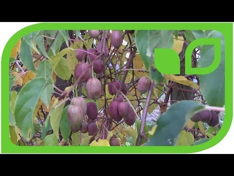 Purpurna - Erntereife Traubenkiwi An Der Pflanze