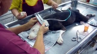 Should The Practice of Cutting Dogs