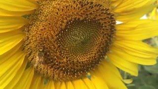 Bees on Sunflower - ผึ้งเก็บน้ำหวานบนดอกทานตะวัน [SLO-MO]