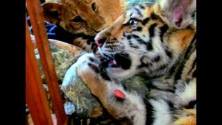 Playing with lion and tiger cubs