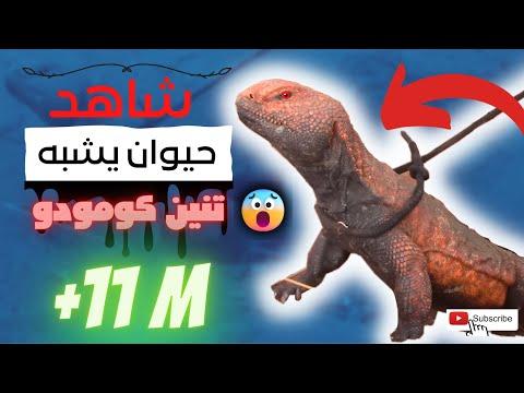 حصريا شاهد الضبان  كيف يخرج من الجحر ويتحسس الفخ بحذر شديد ( الضب الصحراوي )