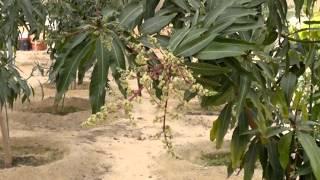 إنتاج الفاكهة المانجو المميزة gulf