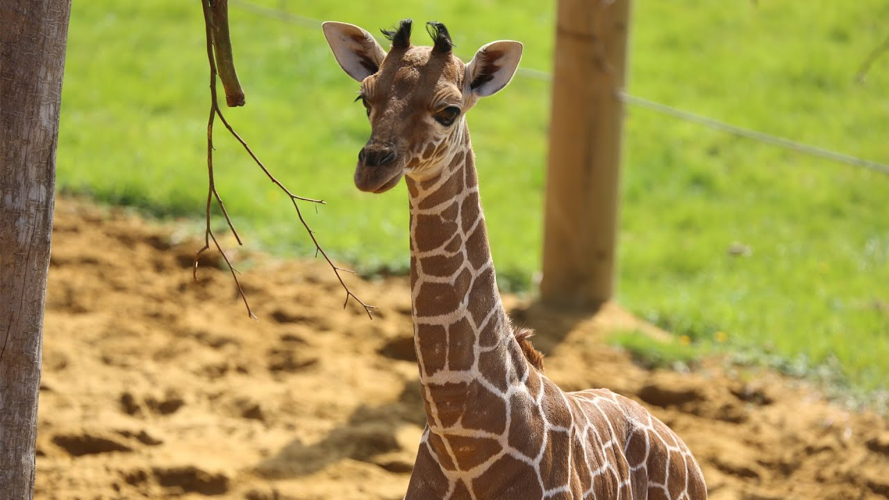 Baby giraffe gives its mum the run around! - YouTube