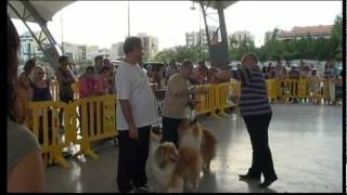ROUGH COLLIE, DO RIPAUMIA CIRENE Y DIOMEDES ( Neska y Dick ) en Concursos Caninos en CASTELLON 2011