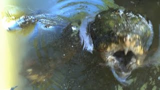 MONSTER TURTLE ATTACKS BIG ALLIGATOR - The Alligator Snapping Turtle
