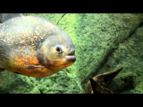 Пираньи, рыбы убийцы в океанариуме Владивостока
