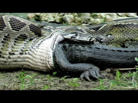 Python Eats Alligator 02, Time Lapse Speed X6 video