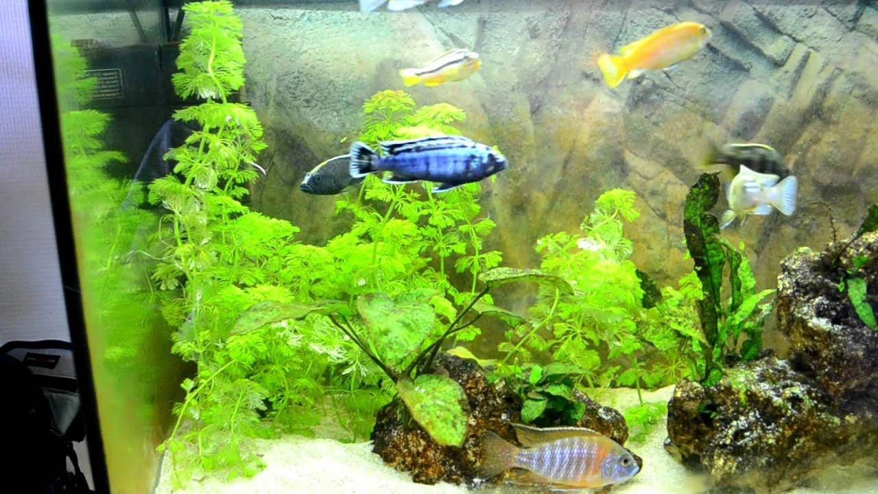 Фото аквариума с цихлидами дизайн