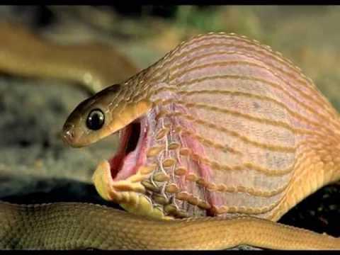 Bagaimana ular makan telur