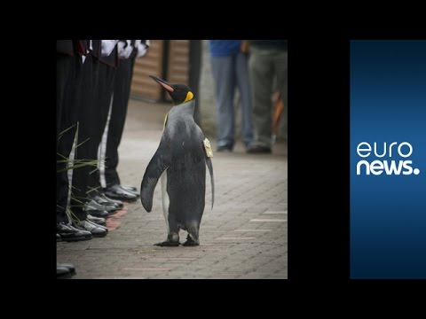 King penguin given 'Brigadier Sir' title by Royal Norwegian Guard