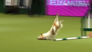 Tumbling Jack Russell wins hearts after bad dog show run