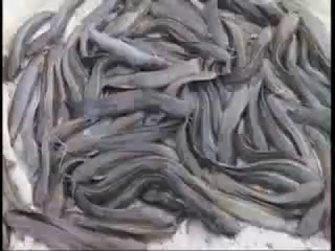 Catfish Farming – India
