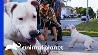 Rescuing A Deaf Pit Bull Caught By A Good Samaritan | Pit Bulls & Parolees